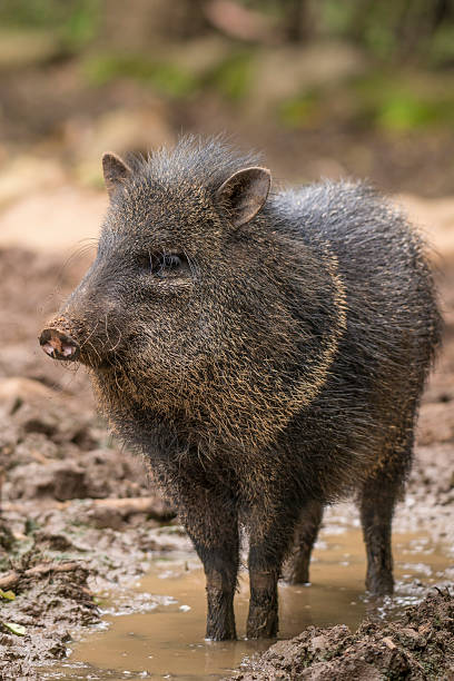 peccary - javelina stock pictures, royalty-free photos & images