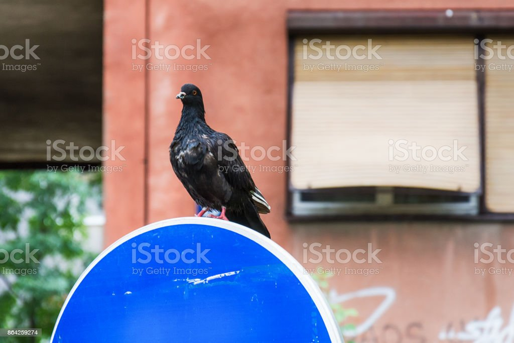 pecked a pigeon royalty-free stock photo