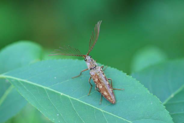 Pectocera fortunei,Klick Käfer – Foto