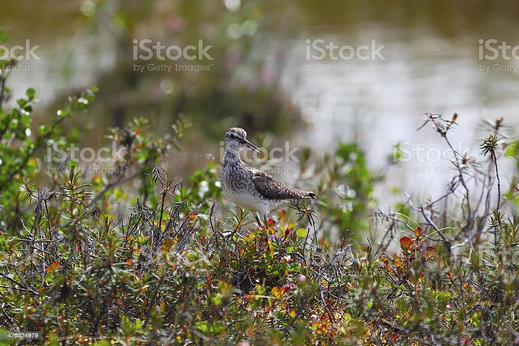 Pectoral Sandpiper in taimyr tundra royalty-free stock photo