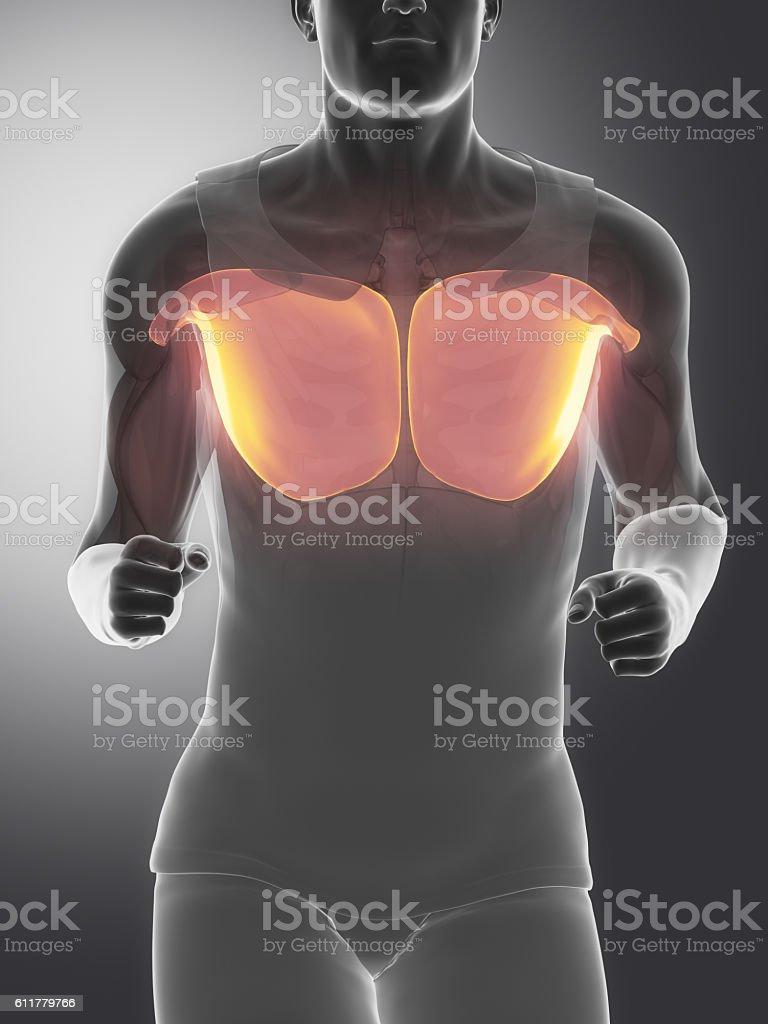 Pectoralis Major Human Muscle Anatomy Stock Fotografie Und Mehr