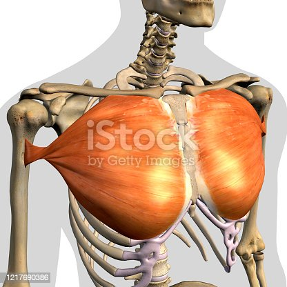 istock Pectoralis Major Muscles Isolated Anterior View Anatomy on White Background 1217690386