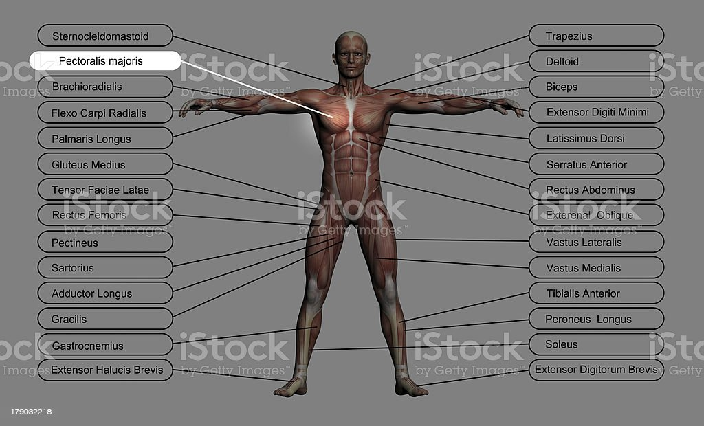Pectoralis mayoris stock photo