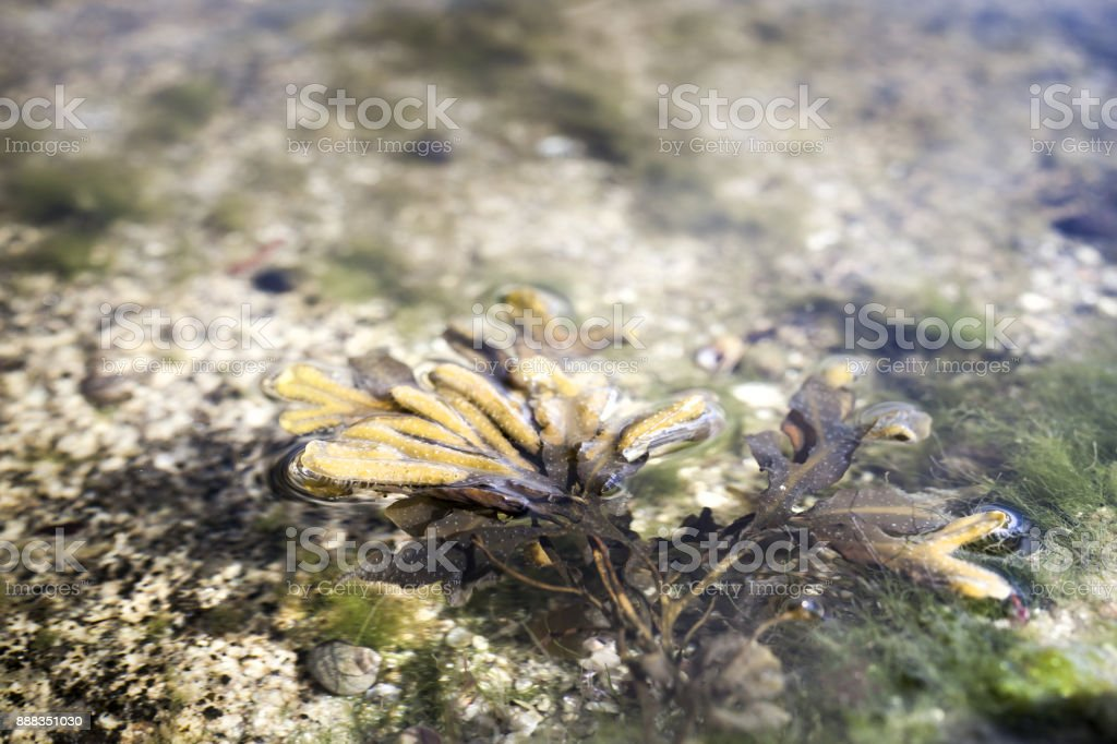 Peculiar shape of an algae in low tide coastline in france, Penmarch stock photo