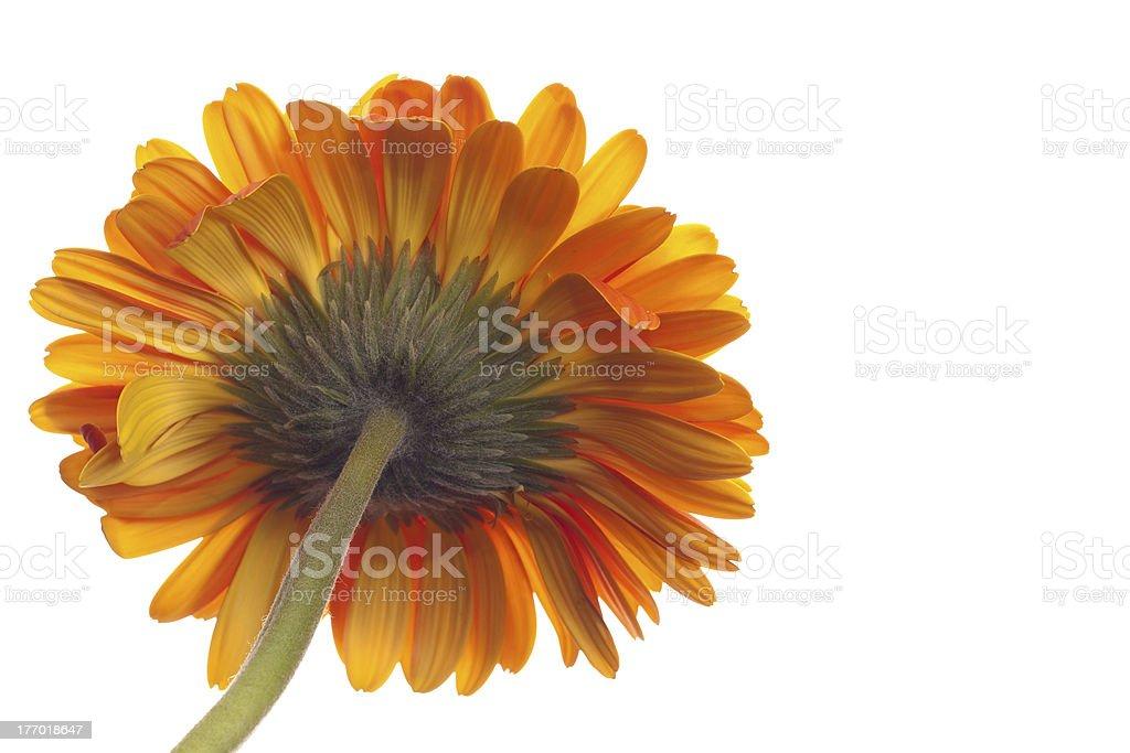 Pedicel or Rear View of Orange Gerbera Daisy stock photo
