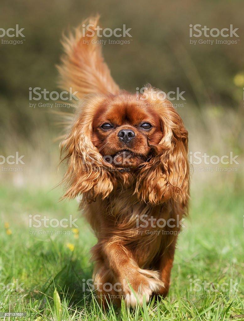 Pedigree Cavalier King Charles Spaniel Dog stock photo