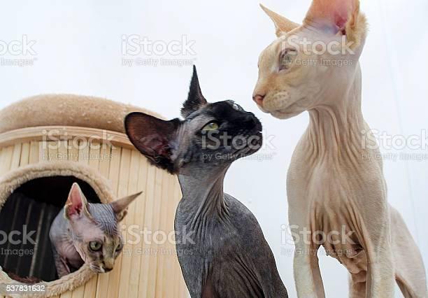Pedigree sphynx cat picture id537831632?b=1&k=6&m=537831632&s=612x612&h=nmzs jnhpm5kldqm24sdn6n7knumdtbwt4stvpmltbw=