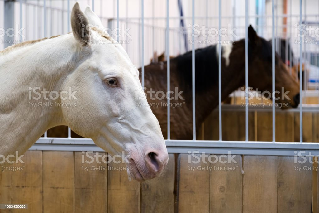Pedigree White Horse In The Stable Horses In The Aviary Stable With Animals Horse Through The Cage Stock Photo Download Image Now Istock