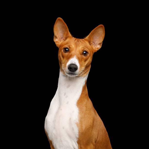Pedigree white with red basenji dog on isolated black background picture id931519184?b=1&k=6&m=931519184&s=612x612&w=0&h=npn54ln4rxj0kkshndghovdoex6p7g2bkxolllxbmaa=