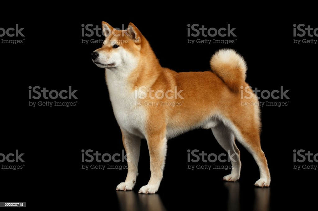 Pedigreed Red Shiba inu Dog Standing on Isolated Black Background stock photo