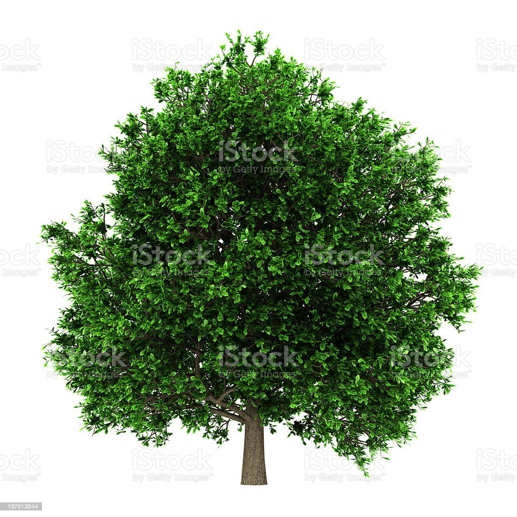 pedunculate oak tree isolated on white background royalty-free stock photo