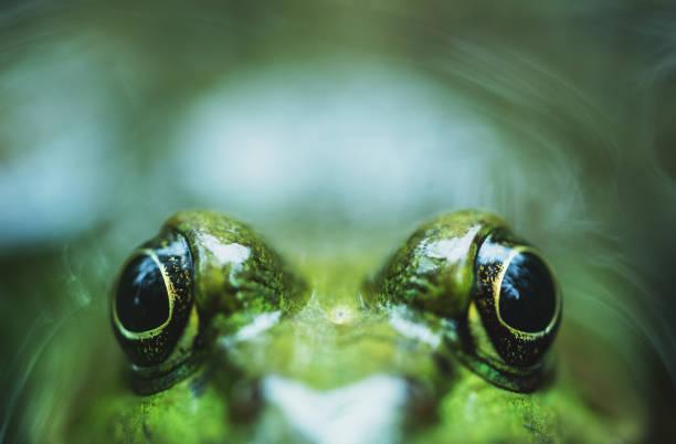 peekaboo groda - djuröga bildbanksfoton och bilder