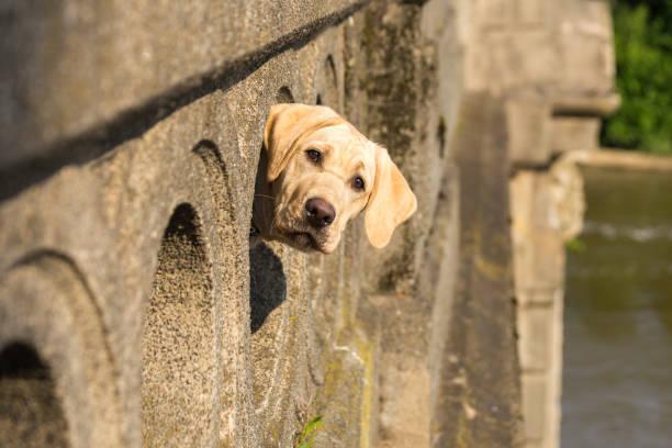 Peek-a-boo goes a yellow labrador retriever stock photo