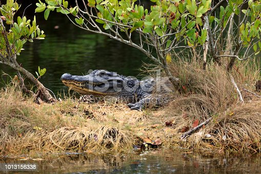 An Alligator lurking in a Marsh in the wintertime near the eastern coastline of Florida in the Merritt Island National Wildlife Refuge