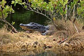 An Alligator lurking in a Marsh in the wintertime near the eastern coastline of Florida in the Merritt Island National Wildlife Refuge
