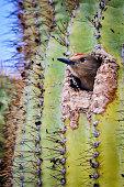 Gila Woodpecker peeking out its nest in a Saguaro Cactus.