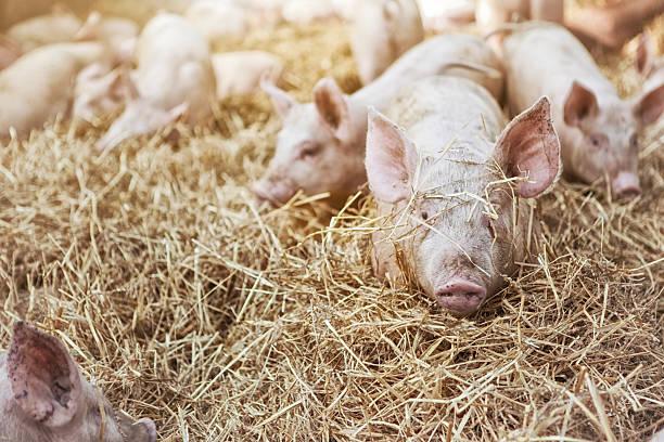 Peekaboo Pig stock photo
