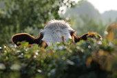 istock peeking cow, over fence 467779894
