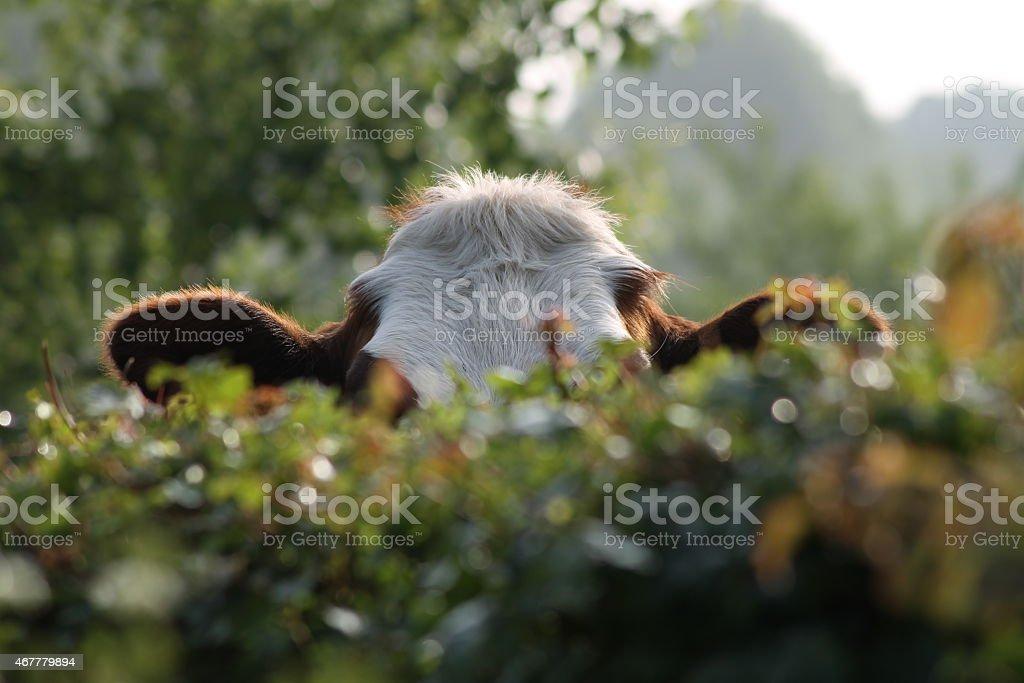 Spähen Kuh, über den Zaun – Foto