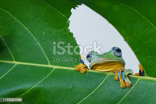Peeking frog behind leaf