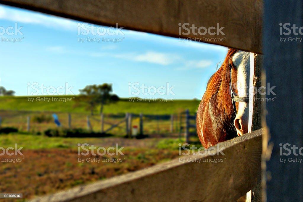Peeking Horse royalty-free stock photo