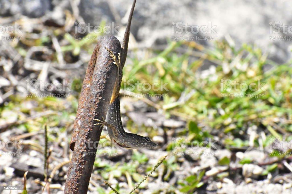 Peeking Lizard stock photo