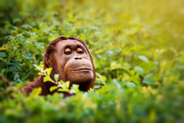 Peeking orangutan portrait stock photo