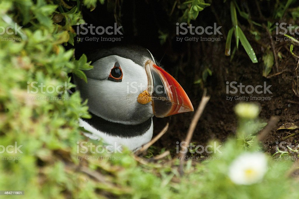 Peeking Puffin stock photo