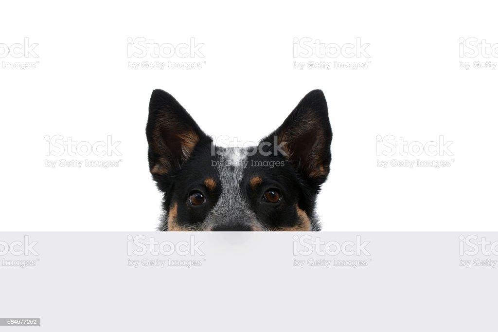 Peeking Puppy – zdjęcie