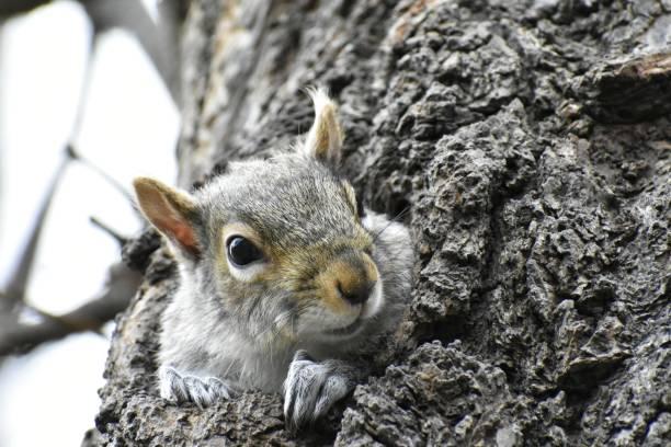 Peeking Squirrel, Boston Common stock photo