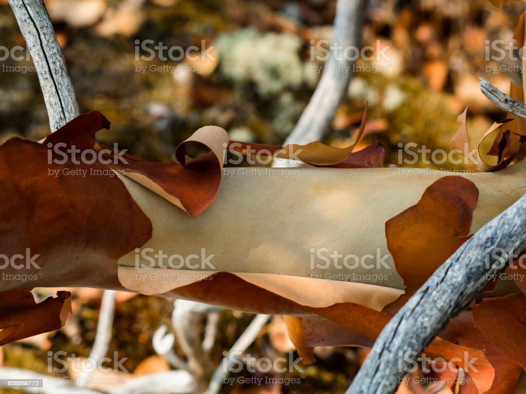 Peeling Arbutus Bark stock photo