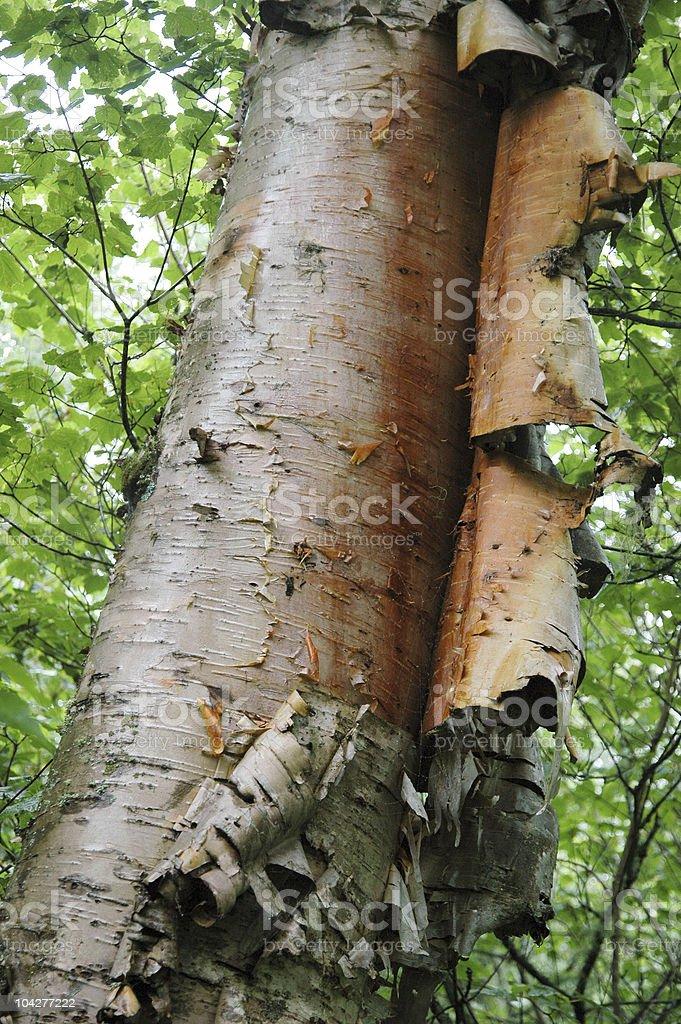 Peeling birch bark stock photo