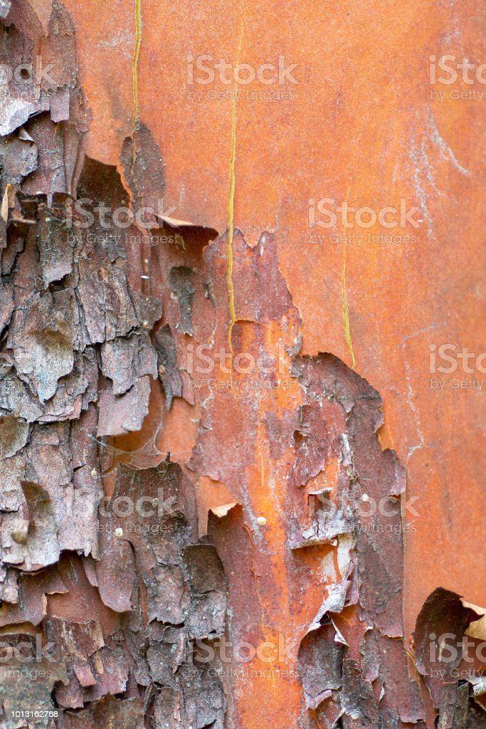 peeling madrone tree bark, Arbutus menziesii stock photo