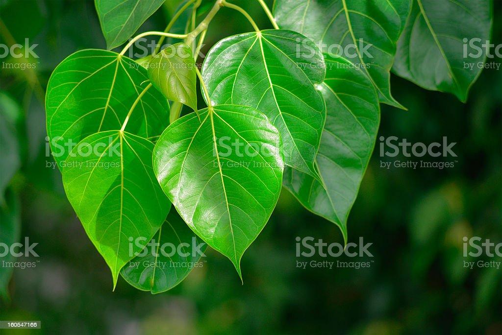 Peepal Leaf green royalty-free stock photo