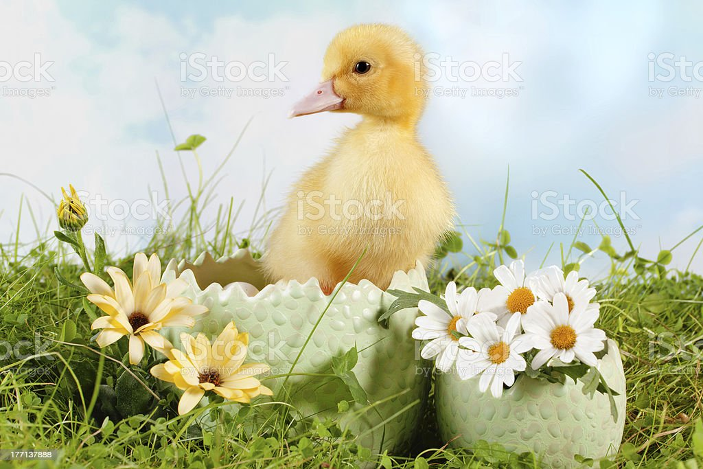 Peeping easter duckling royalty-free stock photo