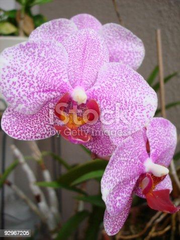 fuschia and white orchids in a porch garden . . .