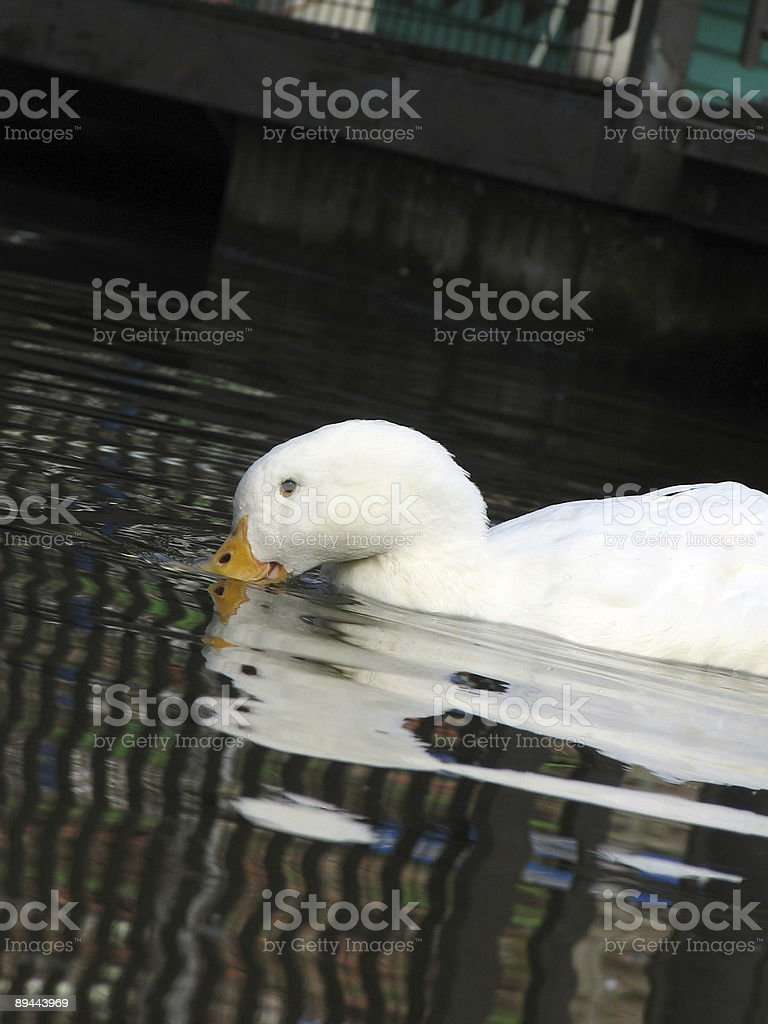 Pekin duck royalty-free stock photo