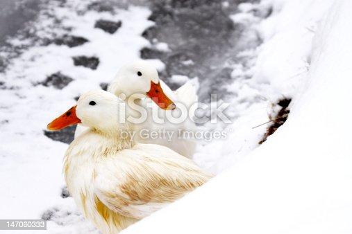 istock Pekin Ducks 147060333