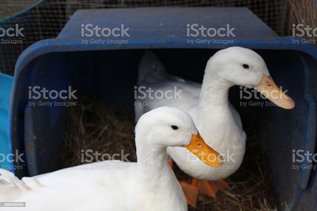 Pekin Ducks stock photo