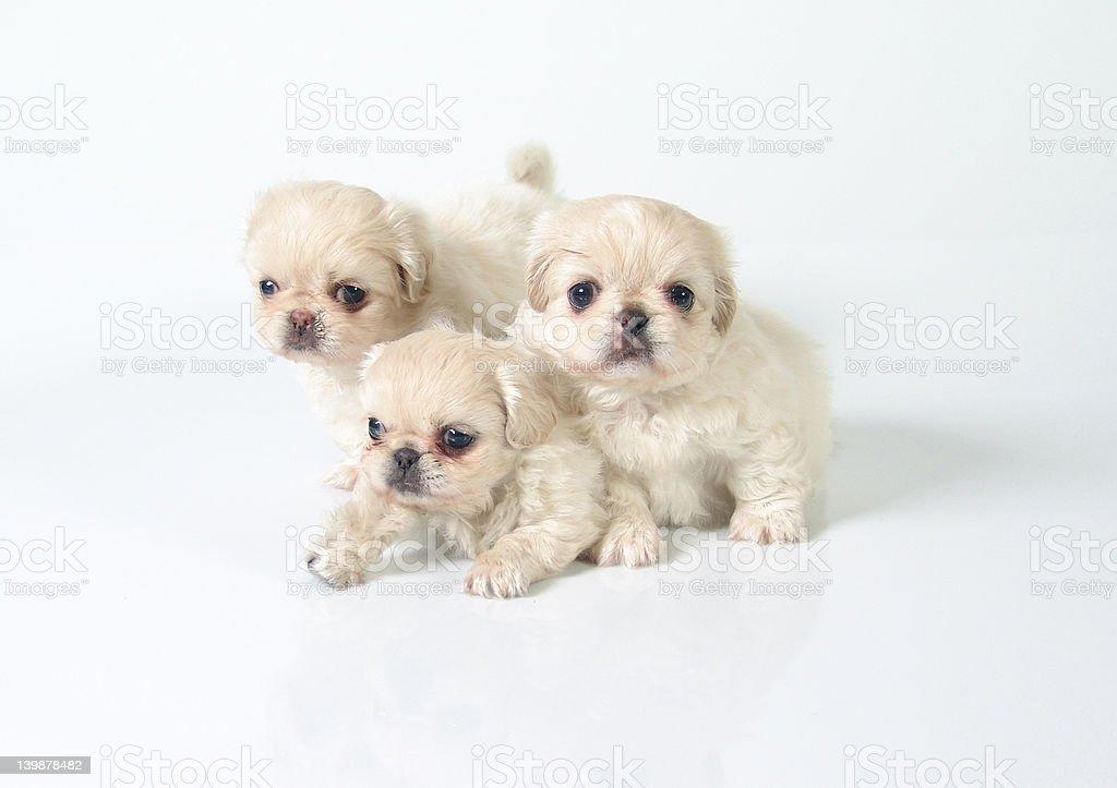 Pekinese puppies royalty-free stock photo