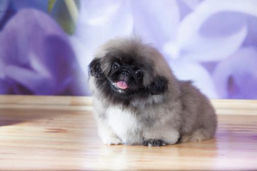istock Pekinese puppy 170102803