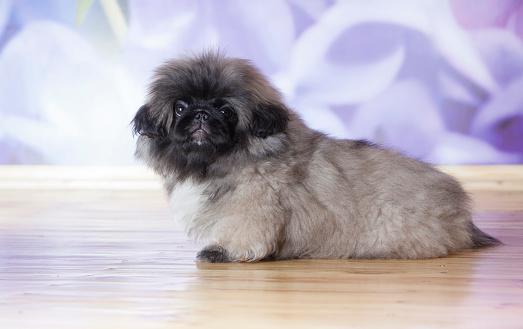 istock Pekinese puppy 180746762