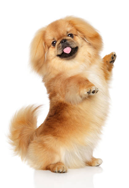 pekingese dog in front of white background - fluffy stock photos and pictures