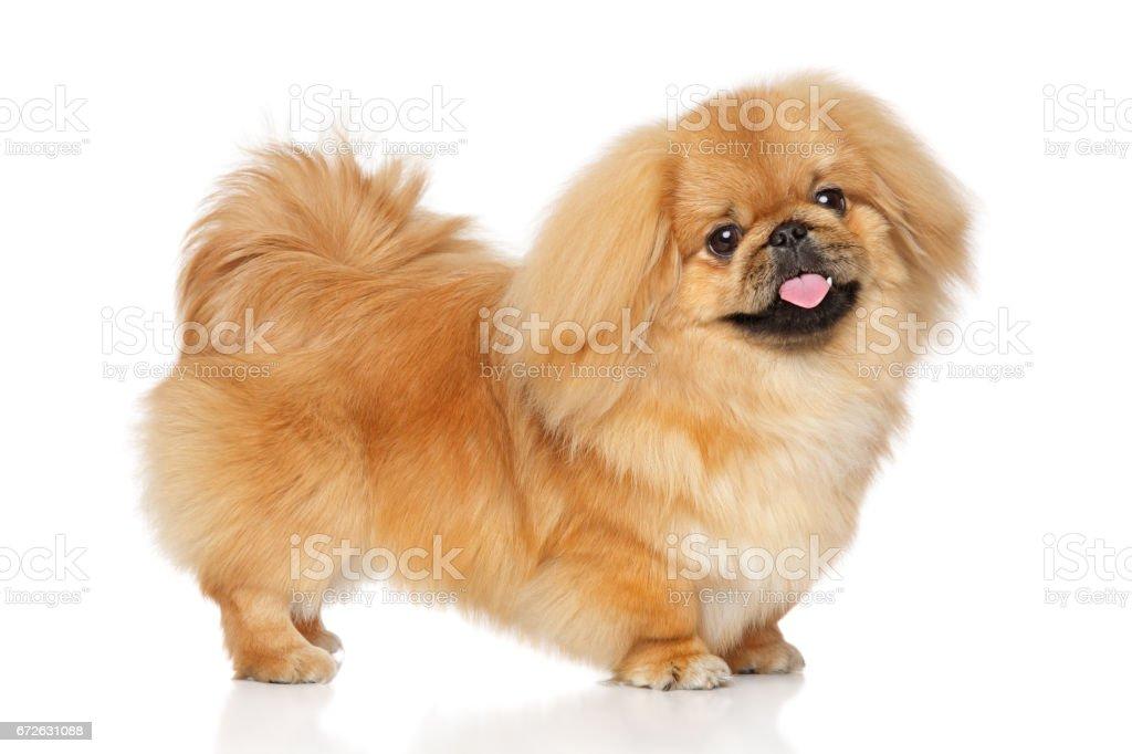 Pekinese Hund Im Stand Stockfoto Und Mehr Bilder Von Braun Istock