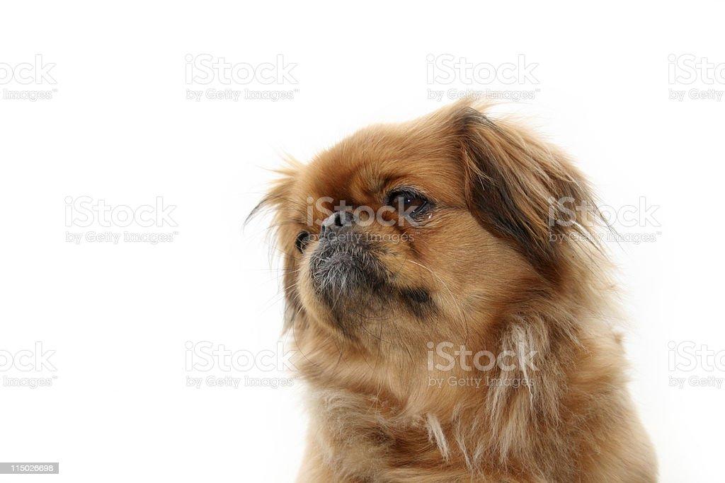 Pekinese Hund Stockfoto Und Mehr Bilder Von Farbbild Istock