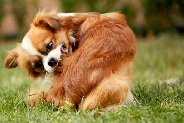 A Pekingese full of fleas is scratching his fur A Pekingese full of fleas is combing his fur allergy stock pictures, royalty-free photos & images