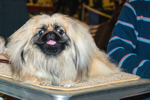 istock Pekingese smile. 464646108