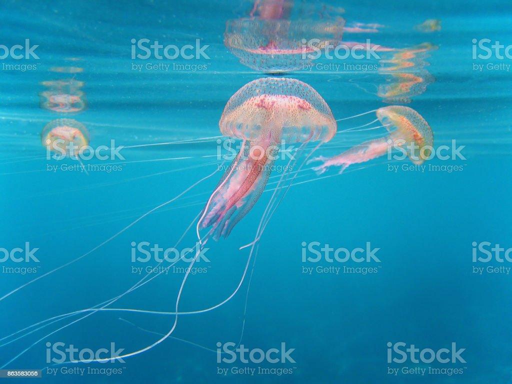 Pelagia Noctiluca jellyfish stock photo
