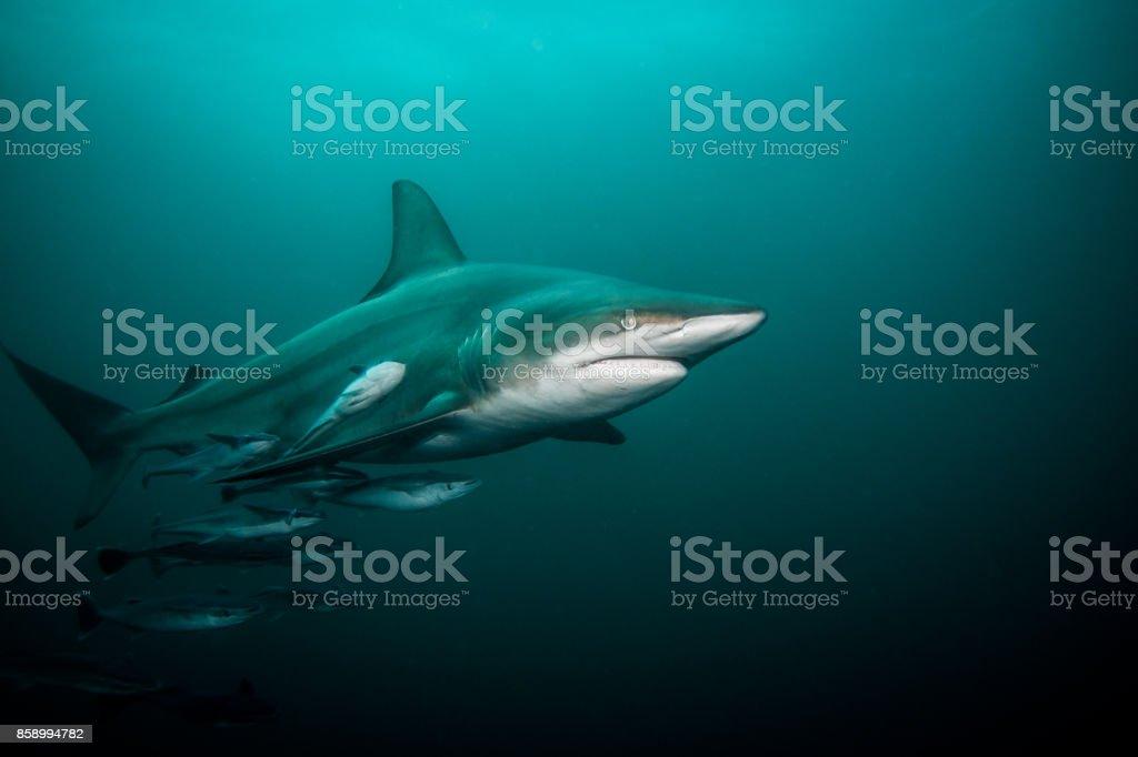 Pelagic Blacktip shark in open water . stock photo