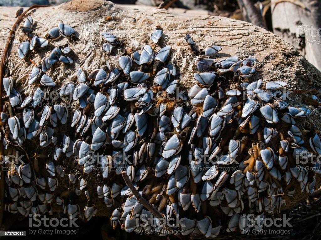Pelagic Goose-Neck Barnacles (Lepas anatifera) stock photo